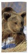 Brown Bear Eating Dry Grasses Beach Towel