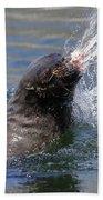 Brown Fur Seal Throwing A Fish Head Beach Towel
