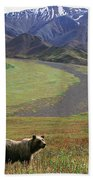 Brown Grizzly Bear In Denali National Beach Towel