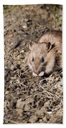 Brown Rat Beach Towel