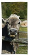 Brown Swiss Cow Beach Towel