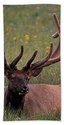 Bull Elk Resting Beach Towel