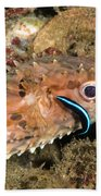 Burrfish And Cleaner Goby Beach Towel
