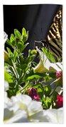 Swallowtail Butterfly On White Petunia Flower Beach Towel