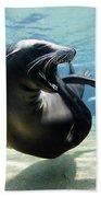 California Sea Lion Yawning Beach Towel by Hiroya Minakuchi