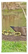 Canada Goose And Goslings Beach Towel