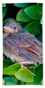Cardinal Chick Beach Towel