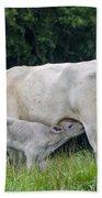 Charolais Cow Nursing Calf Beach Towel