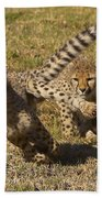 Cheetah Juveniles Playing Beach Towel