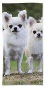 Chihuahua Dogs Beach Towel