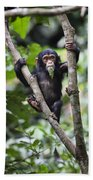Chimpanzee Baby Eating A Leaf Tanzania Beach Towel