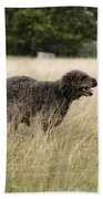 Chocolate Labradoodle Running In Field Beach Towel