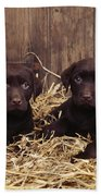 Chocolate Labrador Puppies Beach Towel