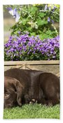 Chocolate Labrador Puppy Beach Towel