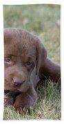 Chocolate Labrador Puppy Beach Towel