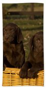 Chocolate Labrador Retriever Pups Beach Towel