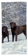 Chocolate Labrador Retrievers Beach Towel
