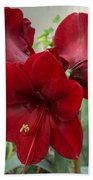 Christmas Red Amaryllis Flowers Beach Towel