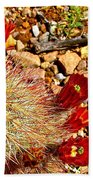 Claret Cup Cactus On Panther Junction Nature Trail In Big Bend National Park-texas Beach Towel
