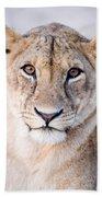 Close-up Of A Lioness Panthera Leo Beach Towel