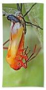Coming Of Age - Large Milkweed Bug - Oncopeltus Fasciatus Beach Towel