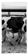 Cows Coming And Going Beach Towel