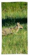 Coyote In Boulder Higlands Beach Towel