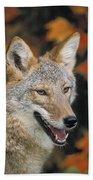 Coyote In Maple Beach Towel