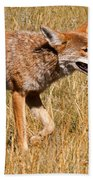 Coyote In Rocky Mountain National Park Beach Towel