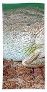 Cuban Tree Frog Osteopilus Beach Towel