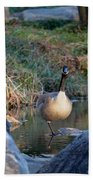 Curious Canadian Goose Beach Towel