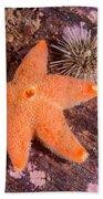 Cushion Winged Sea Star Beach Sheet