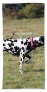 Dalmation Pretending To Be A Pointer Beach Towel