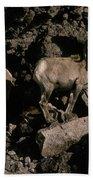 Desert Bighorns Ovis Canadensis Nelsoni Beach Towel