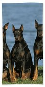 Doberman Pinschers Beach Towel