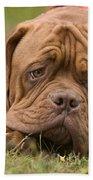 Dogue De Bordeaux Beach Towel