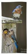 Eastern Bluebird Family Beach Towel