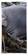 Elephant Seal Of Ano Nuevo State Reserve Beach Towel