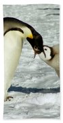 Emperor Penguin Chick Feeding Beach Towel