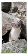 Ermine In Wildlife Beach Towel