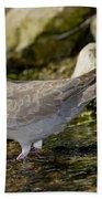 Eurasian Collared Dove Beach Towel