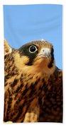 Eurasian Hobby Falco Subbuteo In Beach Towel