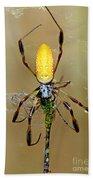 Female Golden Silk Spider Eating Beach Towel