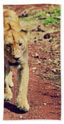 Female Lion Walking. Ngorongoro In Tanzania Beach Towel