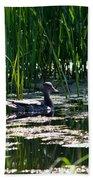 Female Mallard Duck Swimming Beach Towel