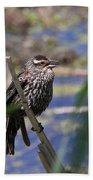 Female Red-winged Blackbird Beach Towel