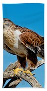 Ferruginous Hawk About To Take Beach Towel