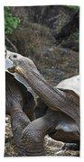 Fighting Galapagos Giant Tortoises Beach Towel