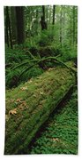 Fir Nurse Log In Rainforest Pacific Beach Towel