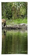 Fox At Water Hole Beach Towel